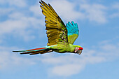 Military Macaw flying, Ara militaris, South America, captive
