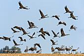 Kraniche fliegen ab, Grus Grus, Mecklenburg-Vorpommern, Deutschland, Europa