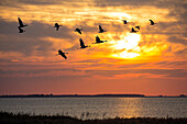 Cranes and geese flying at sunset, Mecklenburg-Western Pomerania, Germany, Europe, digital composing