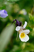 Wild Pansy Flower, Herb