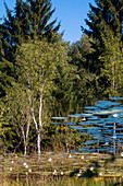 trees reflecting in Pond with water lilies, Kochelseemoos, Upper Bavaria, Germany, Europe