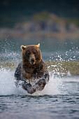 USA, Alaska, Katmai National Park, Kukak Bay, Brown Bear (Ursus arctos) chases spawning salmon in small stream at dusk on late summer evening
