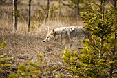 A Coyote Hunts For Prey In Jasper National Park