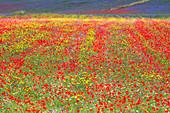 Europe, Italy, Umbria, Perugia district, flowering of Castelluccio of Norcia