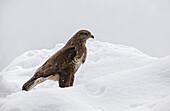 Adamello Natural Park, Lombardy, Ital, Buzzard, bird, animal, fauna, wildlife