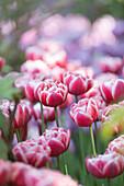 close up of beautiful violet tulips, Trauttmansdorff botanic garden, Bolzano province, South Tyrol, Trentino Alto Adige, Italy, Europe