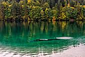 diver explore water of Tovel lake, Italy, Trentino Alto Adige, Non valley