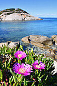 Violet Flowers, roks, and trnsparent sea, cala dell'Arenella, Giglio Island, Tuscany, Italy