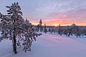 Pink lights of the arctic sunset illuminate the snowy woods Vennivaara Rovaniemi Lapland region Finland Europe