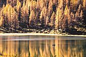 Yellow trees reflecting themselves on San Giuliano Lake, Trentino Alto Adige, Italy