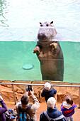Visitors looking at a hippopotamus female through a window (Hippopotamus amphibius) Zoo Parc de Beauval, France.