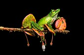 Neotropical rainfrog (Pristimantis galdi), Rainfrog family (Craugastoridae), Tapichalaca Nature Reserve, Andean cloud forest, Eastern Andean foothills, South Ecuador