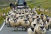 A flock Scottish Blackface sheep disrupting traffic on a narrow country road, Isle of Skye, Scotland, Great Britain