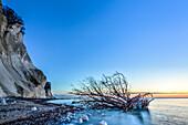 Tree, driftwood on the beach, Chalk Cliffs, White Cliffs of Moen, Moens Klint, Isle of Moen, Baltic Sea, Denmark