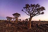 Quiver tree forest (Aloe dichotoma) at sunset, Gariganus farm, Keetmanshoop, Namibia, Africa