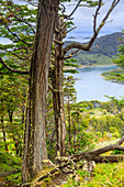 Southern deciduous Magellanic subpolar forest in Wulaia Bay, Isla Navarino, Murray Channel, Patagonia, Chile, South America