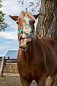 Horse making funny face while yawning