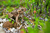 A juvenile Western Toad rest amongst some Heather in an alpine meadow near Chilliwack, British Columbia, Canada.