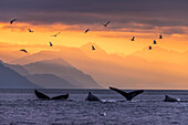 Humpback whale pod at sunset with Chilkat Mountains in the background, Lynn Canal, Inside Passage, Southeast Alaska, USA