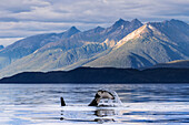 Orca whale surfaces in Lynn canal near Juneau, Inside Passage, Southeast Alaska, USA