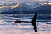 'An Orca Whale (Killer Whale) (Orcinus orca) surfaces near Juneau in Lynn Canal, Inside Passage; Alaska, United States of America'