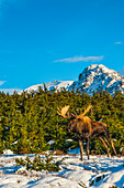 A bull moose in rut standing near Powerline Pass in Chugach State Park, Southcentral Alaska, USA