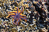 Detail view of a sea star in a tidal pool with barnacles, Hesketh Island, Homer, Southcentral Alaska, USA