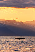 'Fluke of a Humpback Whale (Megaptera novaeangliae) at sunset, Lynn Canal, with the Chilkat Mountains in the background, near Juneau; Alaska, United States of America'