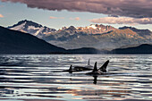 'Orca Whales (Orcinus orca) surface near Juneau in Lynn Canal, Inside Passage, with the coast range in the background; Alaska, United States of America'