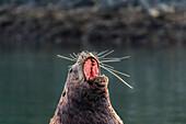 'Male steller sea lion (Eumetopias jubatus) yawns, spreading whiskers out; Kodiak, Alaska, United States of America'