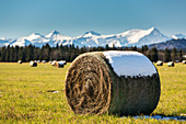 'A hay bale topped with snow in a cut clear field with snow capped mountains and blue sky in the background; Alberta, Canada'