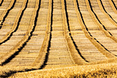 'Graphic close-up of rows of cut canola in a rolling field; Alberta, Canada'