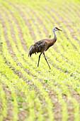 'Lone Sandhill Crane (Grus canadensis) walking through rows of sprouting barley at Creamer's Field Migratory Waterfowl Refuge; Fairbanks, Alaska, United States of America'