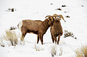 'Two Bighorn Rams (Ovis canadensis) rubbing heads in snowy landscape, Shoshone National Forest; Wyoming, United States of America'