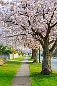 'A cherry blossom tree lined side walk in the spring, a perfect pathway for a leisurely stroll to enjoy the outdoors; Burnaby, British Columbia, Canada'