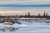 'Polar bear (ursus maritimus) laying alongside a thawing pond waiting for Hudson Bay to freeze over; Churchill, Manitoba, Canada'