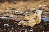 'Polar bear (ursus maritimus) doing sit ups along Hudson Bay, near Churchill; Manitoba, Canada'