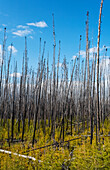 'Dead trees standing tall against a blue sky with new growth on the forest floor; Alberta, Canada'