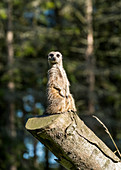 'A meerkat (Suricata suricatta) sits watchful and alert on a log; North Yorkshire, England'