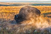 'Bison (bison bison), Grasslands National Park; Saskatchewan, Canada'