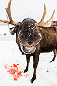 'Bull moose (alces alces) eating a watermelon, captive at Alaska State Conservation Area, South-central Alaska; Portage, Alaska, United States of America'