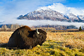 'Wood Bison (Bison bison athabascae) bull rests in a meadow at the Alaska Wildlife Conservation Center; Portage, Alaska, United States of America'
