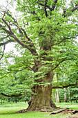 Old oak tree in the park of Ivenack, Mecklenburg-Western-Pomerania, Northern Germany, Germany, Europe
