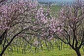 Almond blossom in the Palatinate Forest, Herxheim am Berg, German Wine Route, Palatinate, Rhineland-Palatinate, Germany, Europe