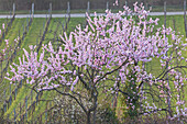 Almond blossom in the Palatinate Forest, Gimmeldingen, Neustadt by the German Wine Route, Palatinate, Rhineland-Palatinate, Germany, Europe