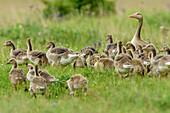 Greylag goose with many chicks, Anser anser, lake Neusiedl, National Park lake Neusiedl, UNESCO World Heritage Site Fertö / Neusiedlersee Cultural Landscape, Burgenland, Austria