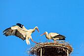 White stork landing on nest with partner, Ciconia ciconia, Rust, lake Neusiedl, National Park lake Neusiedl, UNESCO World Heritage Site Fertö / Neusiedlersee Cultural Landscape, Burgenland, Austria