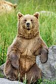 Brown bear sitting upright and having eyecontact, Upper Bavaria, Bavaria, Germany