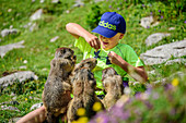 Four marmot eating out of the hand of a boy, Dachstein range, Styria, Austria