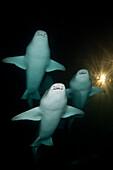 Group of Nurse Shark at Night, Nebrius ferrugineus, Felidhu Atoll, Maldives